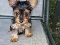 9 week old Regester yorkie male vet checked utd on