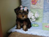 Baby Boy-''Yorkie-''Striped-Bow'' in his hair--Born