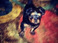 Full Breed Yorkie Male he is socialized, raised with