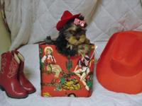 "''Yorkie Girl--""Red""-Born 8-22-2015.-10 weeks and"