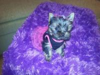 YORKIE BEAUTIFUL AKC FEMALE.... THIS TINY GIRL WILL BE