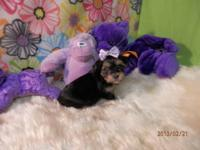 MOLLY BORKIE FEMALE PUPPY 750.00 Molly is a sweet