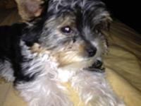 Gorgeous Biewer Yorkie up-to-date on all shots and