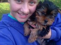 "Here is ""Lightning!"" Her mom is a Yorkshire Terrier and"