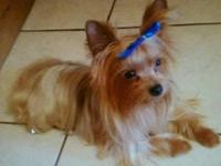Male Yorkie adult 2 1/2 years old. Very small about 3