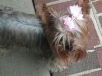 I have a grown GORGEOUS Females Blond Yorkie with Blue