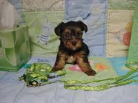 ''Yorkie Boy--''Green''--Born 5-25th-2015.-5 weeks and