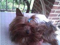 Hi there! I have a baby boy Yorkie,, he was born June