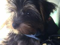 Rehoming Yorkie puppy. Very sweet and friendly,