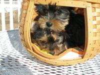 AKC male Yorkies, born 03/07/2012 and will be ready to