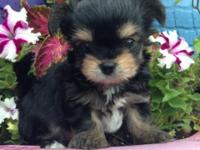Yorkie Chi ready July 8th. Will be small. Daddy is a