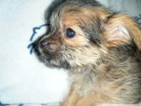 CHORKIE puppies, Registered, 11 weeks old ADORABLE