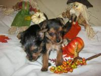 I have three beautiful Chorkie babies available for