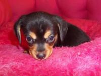 Chorkie puppies which is Yorkie and Chihuahua. One male