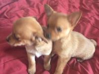 Yorkie chihuahua puppies for sale. 1 girl & 2 boys.