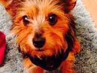 Bailey is a one year old Yorkie Chihuahua mix. He is a