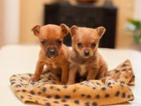 CUTE AS A BUTTON YORKIE/CHIHUAHUA PUP.PICK OF LITTER