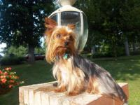 AKC Champion bloodline, teacup, Yorkie puppies. Born