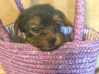 2 puppies available. Full Yorkshire Terriers with
