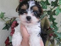 Beautiful, rare Parti yorkie puppies. We have 1 tiny T