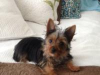 Beautiful AKC tiny female Yorkshire Terrier .