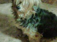 i have a female yorkie, she is either a mix or just a