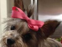 I have a female AKC yorkie, she is 3 years old, she has