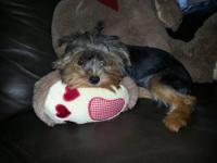 I have beautiful baby doll face Female Yorkie with