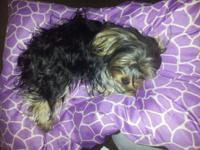 One year old female yorkie house broken great with kids