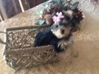 I have a 10 week old Yorkie female,ACA. Registered and