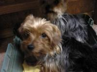 LADY IS A GROWN AKC REG. YORKIE. VERY SWEET. UTD ON