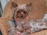 Purebred Yorkie female, spayed, 3 years old weighs