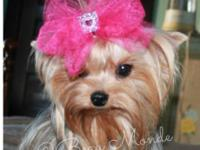 I have one young adult female Yorkie for sale. She is