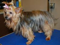 I have a female yorkie she is a yr and a half old she