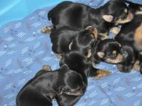 Little Munchkin Yorkie's has 3 female puppies born on