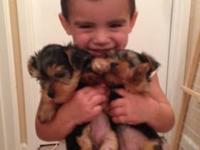Yorkie female puppy, colors will be Blue & Gold. She