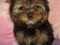 BEAUTIFUL YORKIE FEMALE, VERY SMALL, 4 MONTHS OLD. HAS