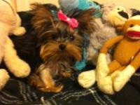 Beautiful Yorkie Female Puppy Birthdate: 6/23/15