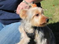 11/5/12: Yorkshire Terrier registered with The American