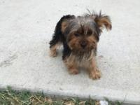 Purebred Yorkie Dew claws Docked tails Beautiful coat