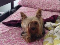 Gorgeous, tiny, female AKC Yorkshire Terrier. 16mnths