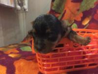 Yorkie Female Teacuo CKC Tiny, $625, Born 10-13-15