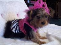 Female Yorkie Toy CKC Miss Prissey has a sweet