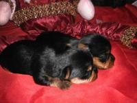Tiny AKC Yorkie girls, DOB 11/08/13 Mom 5 lbs, dad 3