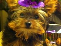 Small Yorkie Puppy Female Pee pad training Located in