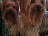 Pure Breed Yorkies. Mom and Father are my pets