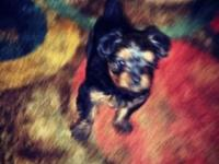 Full Breed Yorkie Male 1st set of Shots Both mom and