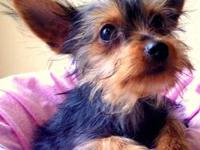 Meet Maddie, she is a beautiful Black and Tan Yorkie