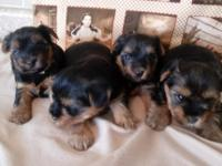 Little Munchkin Yorkies have a black n gold yorkie girl