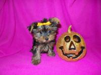 Beautiful Yorkshire Terrier Puppies. 1 Teacup Girl